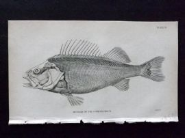 Jardine 1830's Antique Fish Print. Muscles of the Common Perch. Skeleton
